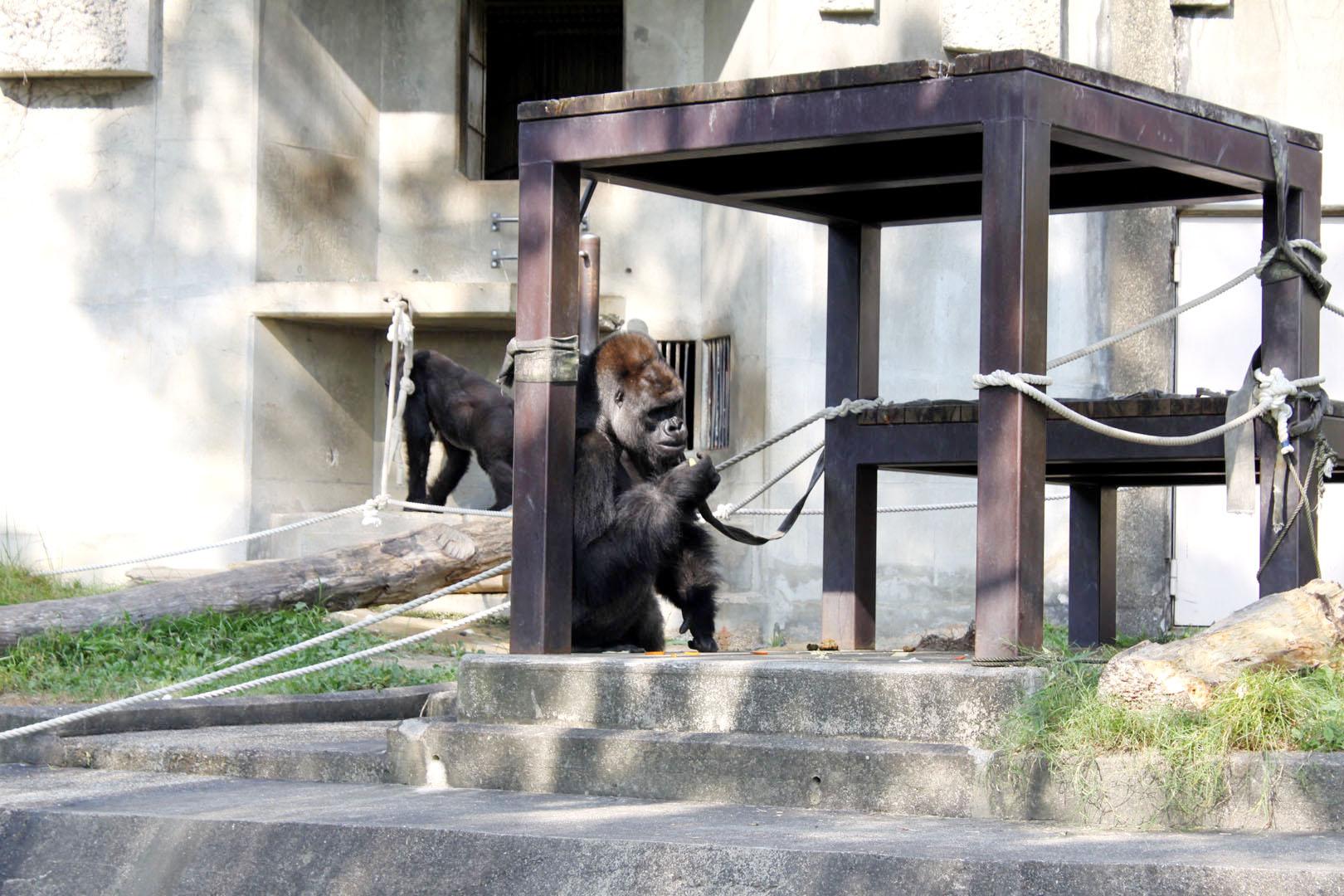gorilla-toujou-09