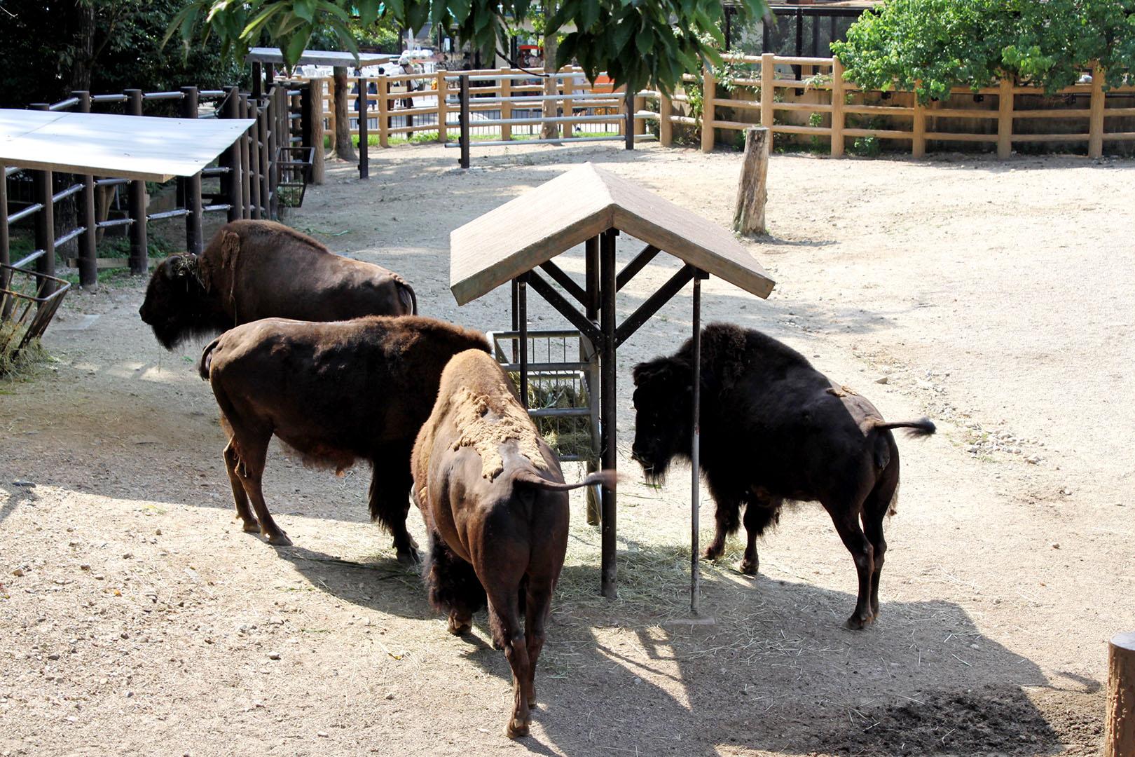 bison-hashikara
