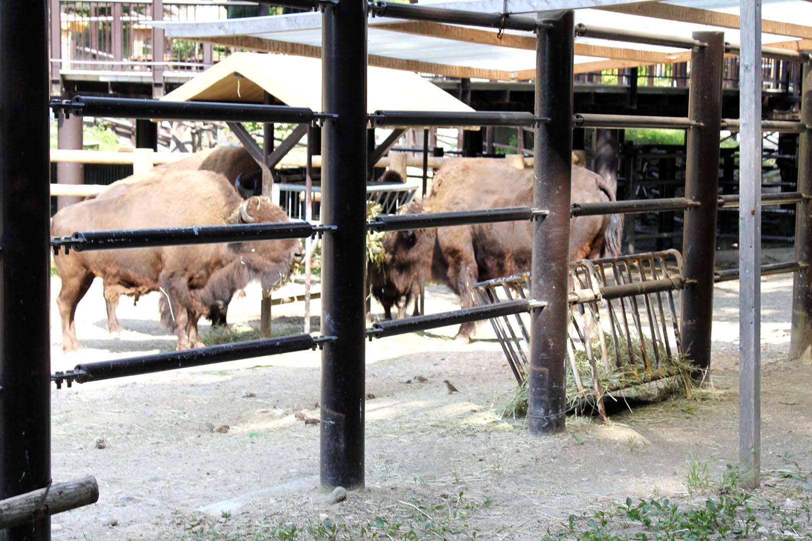 bison-sakukara
