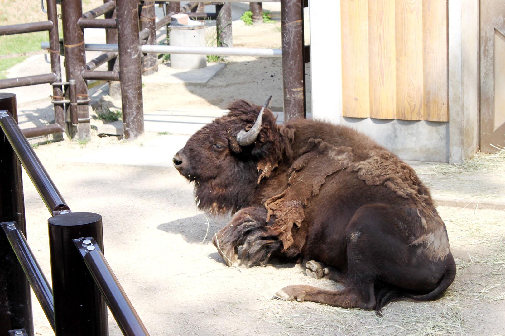 bison-up