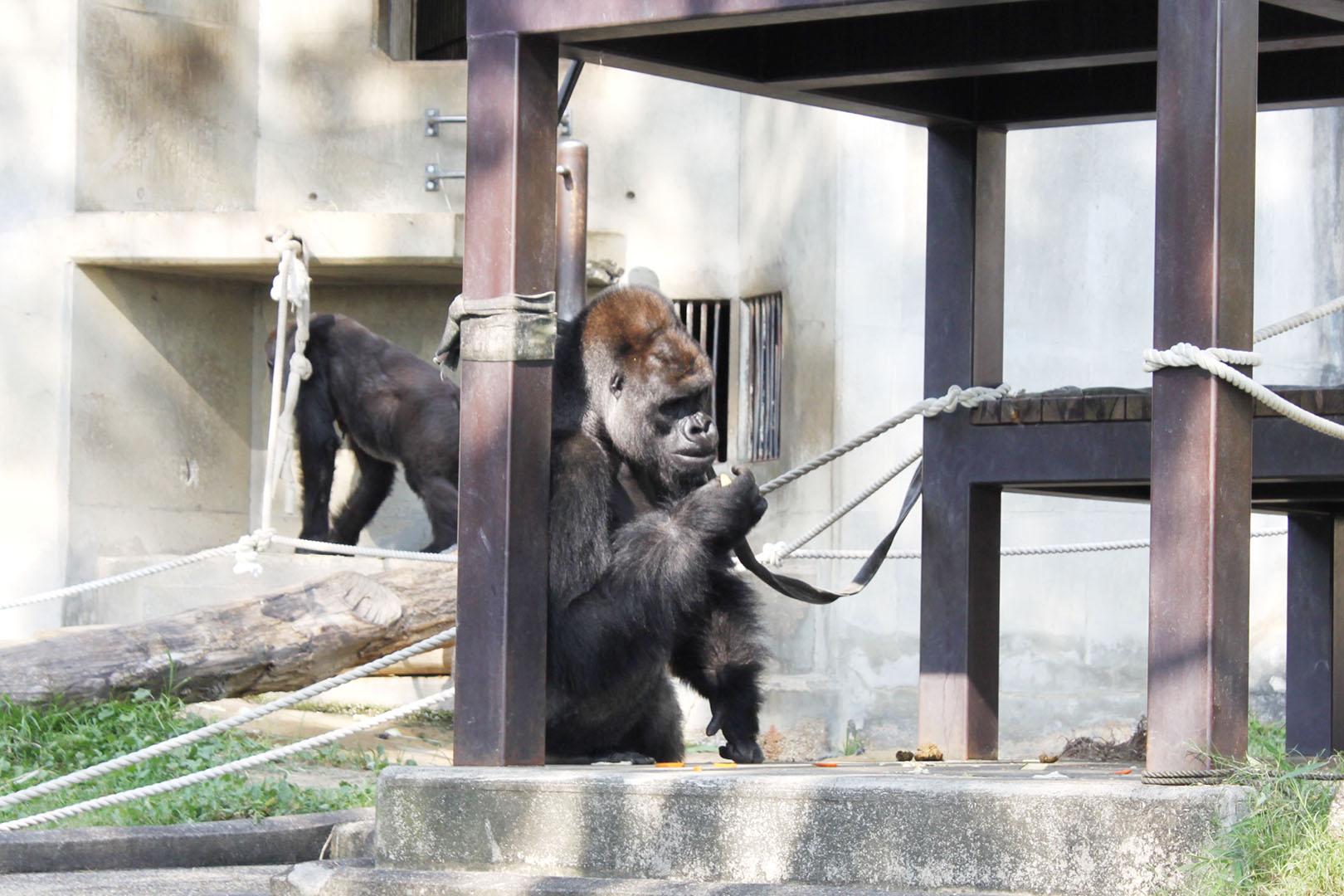 gorilla-main
